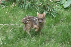 A southern pudu fawn has been born at Queens Zoo in New York. As you can see, it's quite incredibly cute. | This Picture Of A Tiny Baby Deer Is The Cutest Thing You'll See Today