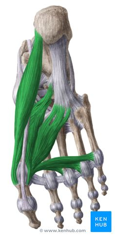 Medial plantar muscles