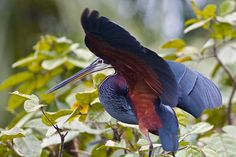 Agami Heron face | Explore myfriendlygiant's photos on Flick… | Flickr - Photo Sharing!