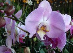 Phalaenopsis - PHILS.