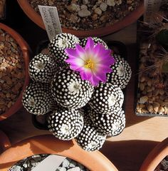 Mammillaria luethyi by Cacti & Succulents, via Flickr