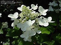 Panicle Hydrangea, Tree Hydrangea Unique