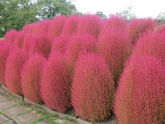 Buy Beautiful 200 Pcs Pampas Grass Seeds Patio and Garden Potted Ornamental Plants New Flowers Cortaderia Grass Seed at Wish - Shopping Made Fun Burning Bush, Grass Seed, Foliage Plants, Ornamental Plants, Pampas Grass, Front Yard Landscaping, Landscaping Ideas, Exotic Flowers, Gardens