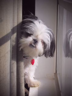 Shih Tzu at the Window