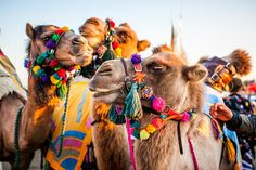 pom pom camels
