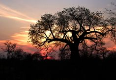 Sun setting over the African bush with a Marula tree as the subject. #Marula, #oil, #tree, #african, #sunset