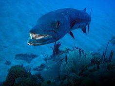 OEHHH Barracuda! - Saba Dutch Caribbean - www.sabatourism.com