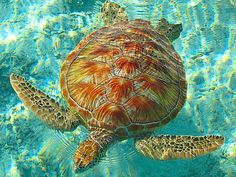 Turtle Swimming in Tahiti Bora Bora