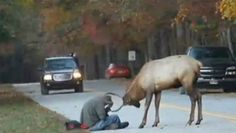 Elk's sad tale a reminder not to feed wildlife The elk made headlines when it was filmed butting heads with a photographer. Officials say the animal lost its instinctive fear of people after being fed by visitors and had to be euthanized.