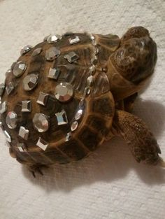 They've bedazzled a turtle ... and he looks fabulous.