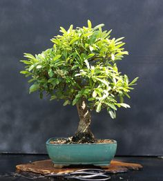 Quality Bonsai Trees & Supplies #bonsaitrees