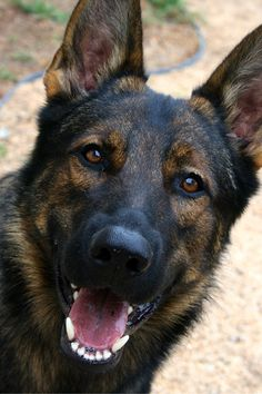 Is there anything more magnificent than a big black dog standing majestically in the yard with the sunlight glinting off their sleek coat? That's why we've created this list of 10 big black dog breeds we think you'll love. German Shepherd Training, German Shepherd Puppies, German Shepherd Colors, German Shepherds, Black Sable German Shepherd, Big Black Dog Breeds, Big Dogs, Dogs And Puppies, Doggies
