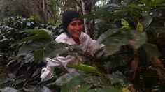 Can Coffee Farms Support Reforestation in Ecuador? Ecuador, Coffee Farm, Palm Oil, Tostadas, Canning, Farms, Agriculture, Home Canning, The Farm