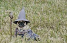 Pug wizardry: