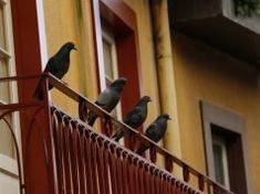 An effective way of eradicating pigeon menace, especially in areas where the flocks are big in numbers, is to adopt the natural remedies suggested above in combination with the contraceptive method. Get Rid Of Pigeons, Vicks Vapor Rub, Smoke Smell, Pest Management, Chest Congestion, Natural Homes, Garden Guide, Natural Home Remedies, How To Get Rid