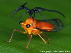 Treehopper (Umbelligerus) -- way cool head thingy (scientific term)