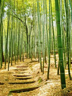 step into the bamboo forest