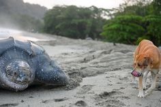 leatherback turtle May 2, 2013 photo, a stray dog walks alongside a leatherback turtle preparing to bury her eggs in the sand at daybreak on a narrow strip of beach in Grande Riviere, Trinidad. When local conservation efforts started here in the early 1990s, locals say a maximum of 30 turtles emerged from the surf overnight during the peak of the six-month nesting season.