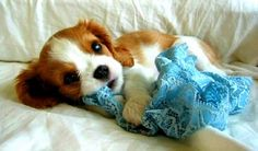 Too sweet Cavalier King Charles Spaniel puppy Cavalier King Charles, King Charles Spaniel, Beautiful Dogs, Animals Beautiful, Cute Puppies, Cute Dogs, Baby Animals, Cute Animals, Spaniel Puppies