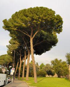 Pinus pinea-umbrella pine, stone pine-fıstık çamı-tohumlar kanatsız, sabit yağ bakımından zengin
