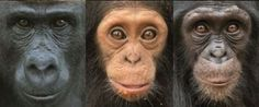 Peculiar Reason Primates Have Such Colorful Faces: Facial complexity is not related to geographic location or habitat. Complexity appears to depend on the size of the social group, larger groups have more diverse faces. In a previous study, the researchers found the opposite pattern among primates from Central and South America: New World monkeys that lived in larger groups had simpler facial patterns. Research suggests that faces evolved along with the diversity of social behaviors in…