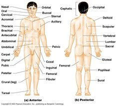 anatomy physiology vocabulary A standard reference position for mapping the body's structures is the normal anatomical position regions of the body are identified using terms such as occipital that are more precise than common words and phrases such as the back of the head.