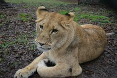 Liberty the young lioness plays in her creek and lays in the mud as if it were summer time! #Liberty #Lion #NoahsArk www.noahs-ark.org