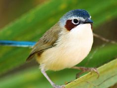 Female Purple-crowned Fairy-wren - photo from AWC and Optus