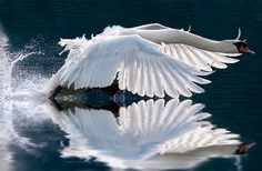Swan in flight - perfect wow ≈