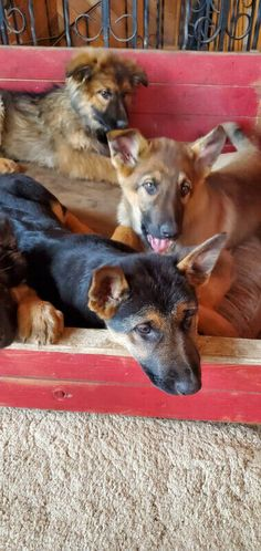 Kijiji - Buy, Sell & Save with Canada's Local Classifieds Puppies For Sale, Dogs And Puppies, Mom Pictures, Humane Society, Sweet Girls, Mom And Dad, Pets, Animals, Animales