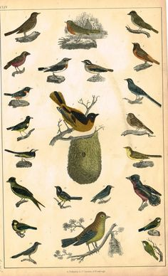 "Fine hand colored engraving featuring various birds by Goldsmith. Published by Fullerton & Co. in London in about 1850. This print is in very good condition and is about 9"" x 5 1/2"" on a page that is"