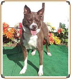 Marietta, GA - Shepherd (Unknown Type) Mix. Meet DIAMOND, a dog for adoption. http://www.adoptapet.com/pet/13840314-marietta-georgia-shepherd-unknown-type-mix