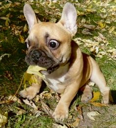 """""""OMG, I ❤️ the first leaves of Fall!"""", funny French Bulldog Puppy"""
