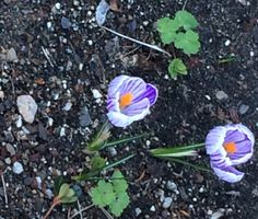 (Once again I'm following ReThinkChurch's prompts for a photo-a-day during Lent.) Early crocuses signal the joy of spring.