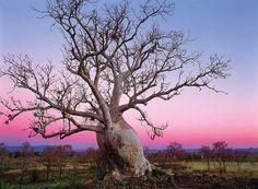australian baobab tree google search nature baobabs pinterest. Black Bedroom Furniture Sets. Home Design Ideas