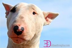 bull terrier ciro