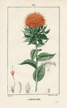 Turpin: 1820 Folio Hand Col Botanical Print. Melastoma Bracteolata 20