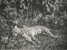 Tiger shot by sultan of Medan-Deli, Sumatra, 1898.  Photographer: C. Kleingrothe.