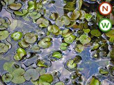Frogbit (Hydrocharis) (2)