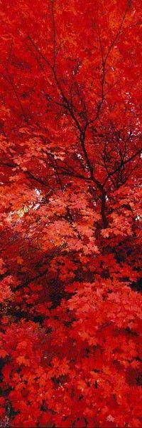 Autumn ~ Japanese Maple