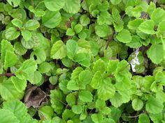 Cultivo y cuidados de la planta del dinero, Su nombre completo es Plectranthus…