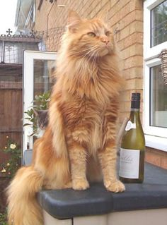 Gorgeous!!! Maine Coon Cat - who wouldn't want a 20lb cat!