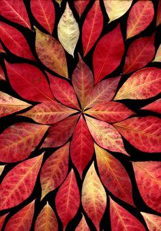 Euonymus alatus Lef-Mandala - Flickr - Photo Sharing! Euonymus Alatus, Leaf Crafts, Arte Floral, Leaf Art, Nature Crafts, Autumn Inspiration, Love Is Sweet, Autumn Leaves, Red Leaves