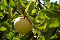 ANTONOVKA Russia 1826 This also happens to grow true from seed, which means a planted seed from an Antonovka apple will produce a tree of that same variety. Disease resistant.