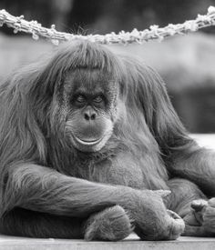 Doris the orangutan actually came to the Zoo the year before Ahkup and Batavia, but she joined them once they arrived.