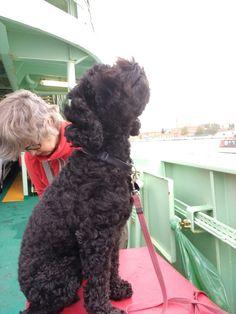 20170911 Ohh, it smells so good, the Venetian air (on board ferry to Lido di Venezia) Australian Labradoodle, Venetian, Board, Dogs, Doggies, Sign, Planks, Pet Dogs