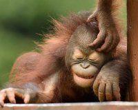 Sepilok Orangutan Appeal UK - registered charity dedicated to the rehabilitation and preservation of Orangutans and their habitat. List Of Animals, Animals And Pets, Cute Baby Animals, Funny Animals, Animal Pictures, Cute Pictures, Types Of Monkeys, Baby Orangutan, Ape Monkey
