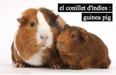 There are many different breeds of guinea pigs from long haired to shorter haired varieties. Here is ad Different Types of Guinea Pig Breeds. Rabbit Litter, Pet Rabbit, Animals For Kids, Animals And Pets, Cute Animals, Small Animals, Baby Guinea Pigs, Baby Pigs, Guinea Pig Breeding