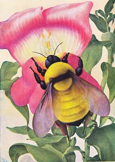 A Bumble-Bee Opens a Snapdragon. Artist, Bruno Ertz (1873-1956). Sir John Hammerton, editor, The New Book of Knowledge (no date).