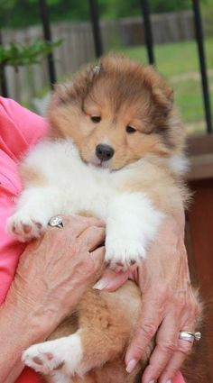 "Shetland Sheepdog Puppy: cuteness overload!!!!! "" I want another Sheltie! There is nothing better than TWO, well possibly THREE!"""